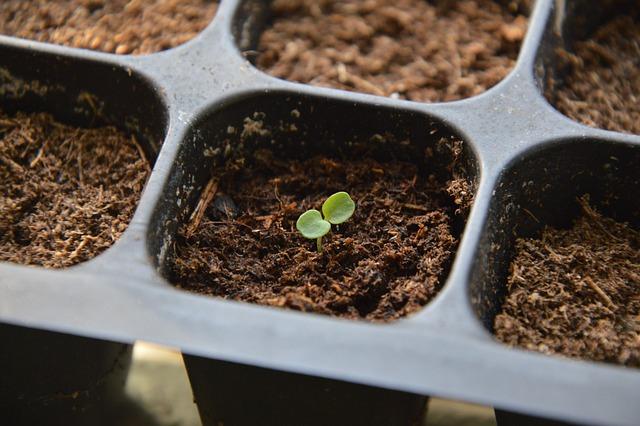 sazenička v květináči, semenáč