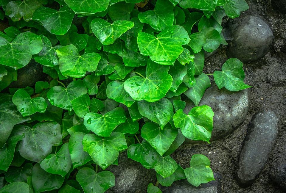 zelený břečťan